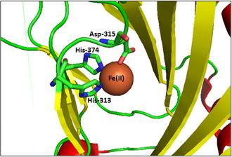 EGLN1 - The iron binding site of PHD2.