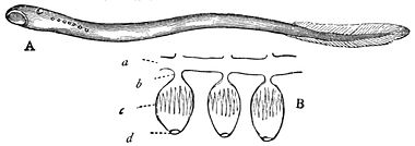 PSM V20 D764 Lamprey showing the sucking mouth and gills.jpg