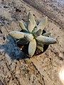 Pachyphytum bracteosum top.jpg