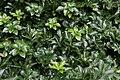 Pachysandra terminalis Green Sheen 1zz.jpg