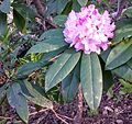 Pacific rhododendron blooming - Flickr - brewbooks.jpg