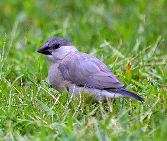 Java sparrow - A juvenile in Hawaii with a black/dark-grey beak