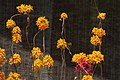 Pajaritos (Epidendrum ibaguense) - Flickr - Alejandro Bayer (2).jpg