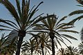 Palm trees in Barcelona.jpg