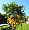 Palme in Porec, Kroatien.jpg
