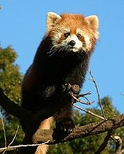 Petit panda (Ailurus fulgens)