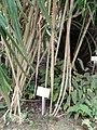 Pandanus pygmaeus - Botanischer Garten Freiburg - DSC06319.jpg