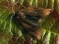 Pandemis dumetana - Кривоусая листовёртка земляничная (27439484388).jpg