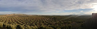 Province of Jaén (Spain) - View of an olive grove, at the north of Jaén.