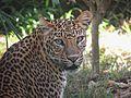 Panthera-pardus.jpg