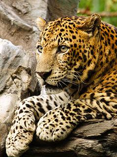 Javan leopard Leopard in Java