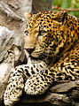 Panthera pardus close up-2.jpg