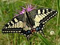 Papilio machaon BUND.jpg