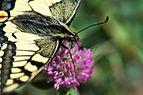 Papilio machaon Mitterbach 03.jpg