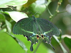 Papilio paris by kadavoor.JPG