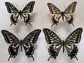 Papilio xuthus Komata & Sota eje.jpg