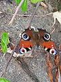 Papillon - 1.jpeg