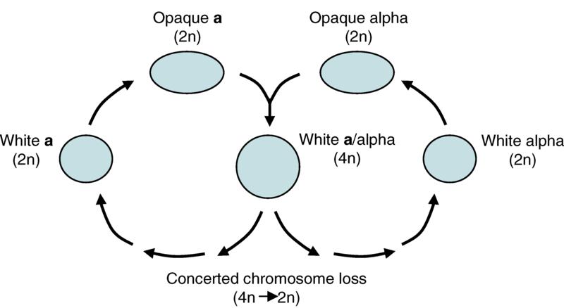Figura 2- ciclo parasessuale di Candida albicans
