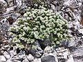 Paronychia cephalotes sl7.jpg