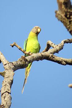Parrot high on the tree.jpg