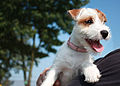 Parson Russell Terrier - female.jpg