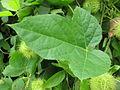 Passiflora foetida - മൂക്കളപ്പഴം 01.JPG