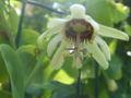 Passiflora yucatanensis1.jpg