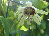 Passiflora yucatanensis1