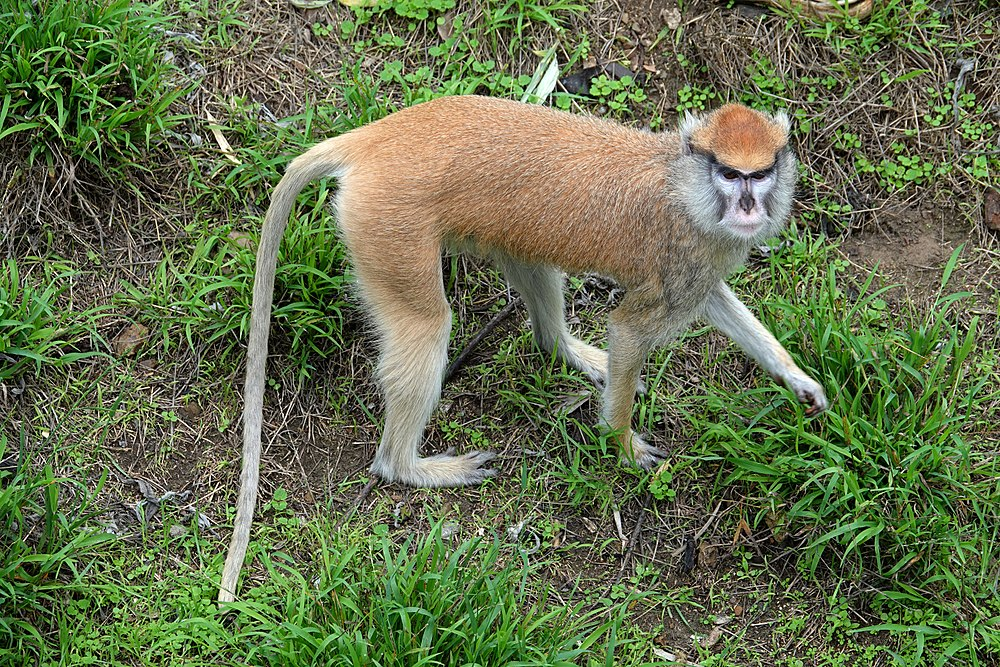 The average litter size of a Patas monkey is 1