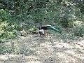 Pavo cristatus Yala National Park 2017-10-26 (4).jpg