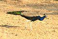Peacock 02 (2271761873).jpg