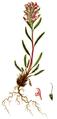 Pedicularis hirsuta, Flora Danica 1105.png
