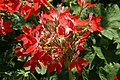Pelargonium x hortorum Fireworks Red-white Bicolor 0zz.jpg