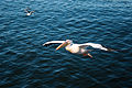 Pelecanus onocrotalus -Walvis Bay, Namibia -male flying-8.jpg