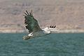 Pelecanus rufescens lake Naser.jpg