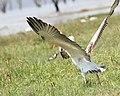 Pelican takes wing (44576448371).jpg