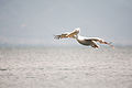 Pelikan vo brisecki let nad Prespa.jpg
