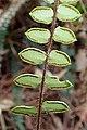 Pellaea rotundifolia kz8.jpg
