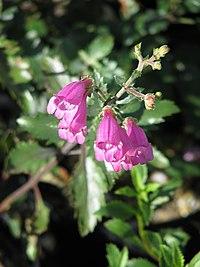 Penstemon richardsonii (10207039073).jpg