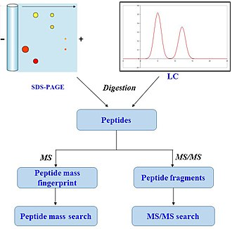 Peptide mass fingerprinting - A typical workflow of a peptide mass fingerprinting experiment.