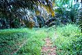 Perkebunan kelapa sawit milik rakyat (10).JPG