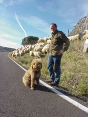 Spanish Water Dogs are highly versatile. This one is herding sheep