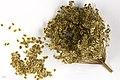 Peucedanum ostruthium MHNT.BOT.2009.17.2.jpg