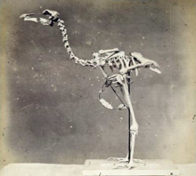1870 photo of mounted solitaire skeleton