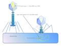 Phage injiziert sein Genom in Bakterienzelle.png