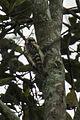 Philippines Woodpecker - Mindanao H8O0965 (16409594642).jpg