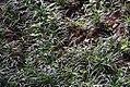 Philodendron radiatum 1zz.jpg