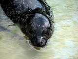 Phoca-vitulina-common-seal-0a.jpg
