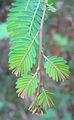 Phyllanthus emblica leaves.jpg