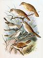 Phylloscopus schwarzi & Phylloscopus neglectus & Locustella luteoventris & Acrocephalus bistrigiceps 1889.jpg